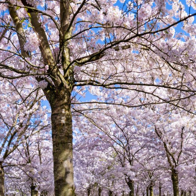 """""""Cherry Blossom Panorama 1"""" stock image"""