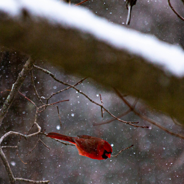 """""""Red Cardinal Taking Off in Snow"""" stock image"""