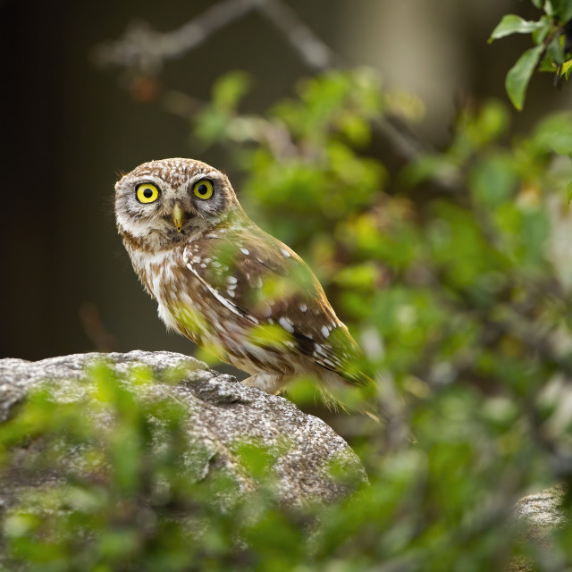 """""""Interested little owl peeking from behind a green branch with leaves"""" stock image"""