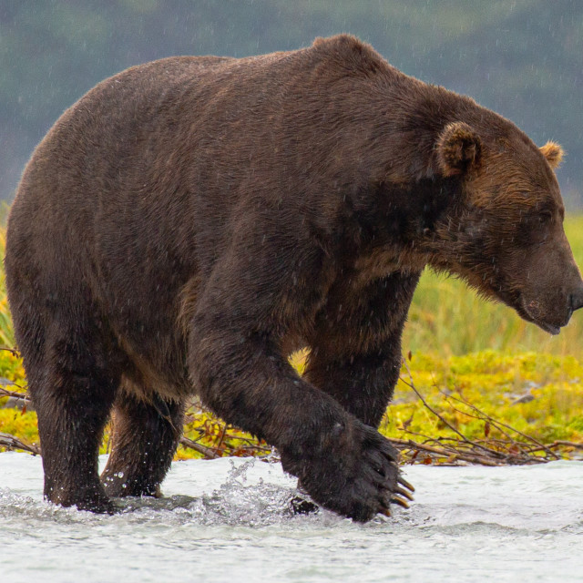 """Brown Bear in the Rain"" stock image"
