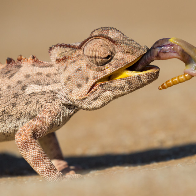 """Namaqua Chameleon"" stock image"
