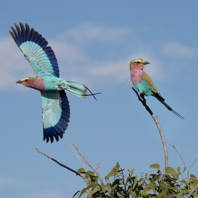 """""""Lilac Breasted Roller"""" stock image"""