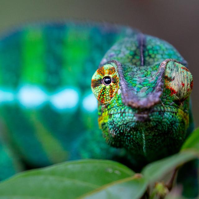 """Panther Chameleon"" stock image"