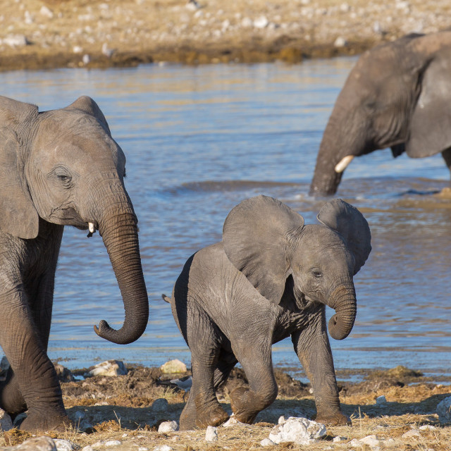 """""""Baby Elephant at the Watering Hole"""" stock image"""