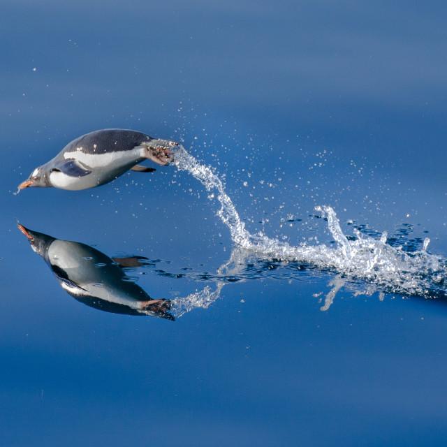 """Gentoo Penguin Porpoising"" stock image"
