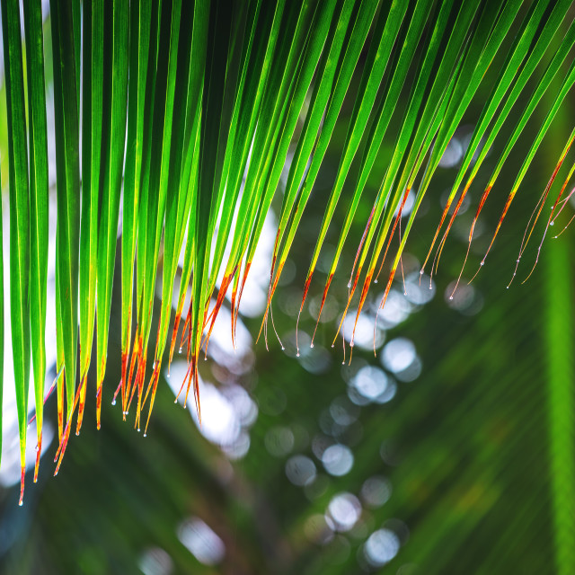 """Palm tree leaves with rain drops as background. Tropical rainfor"" stock image"