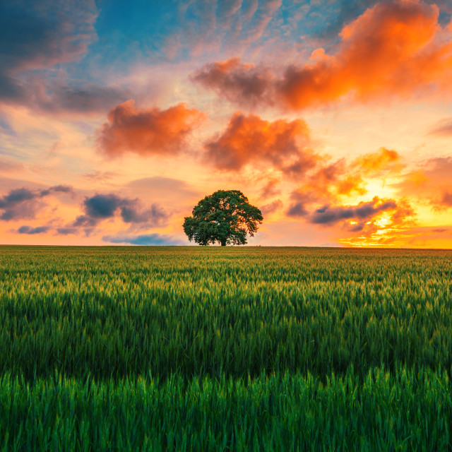 """Tree in the field and dramatic clouds in the sky"" stock image"