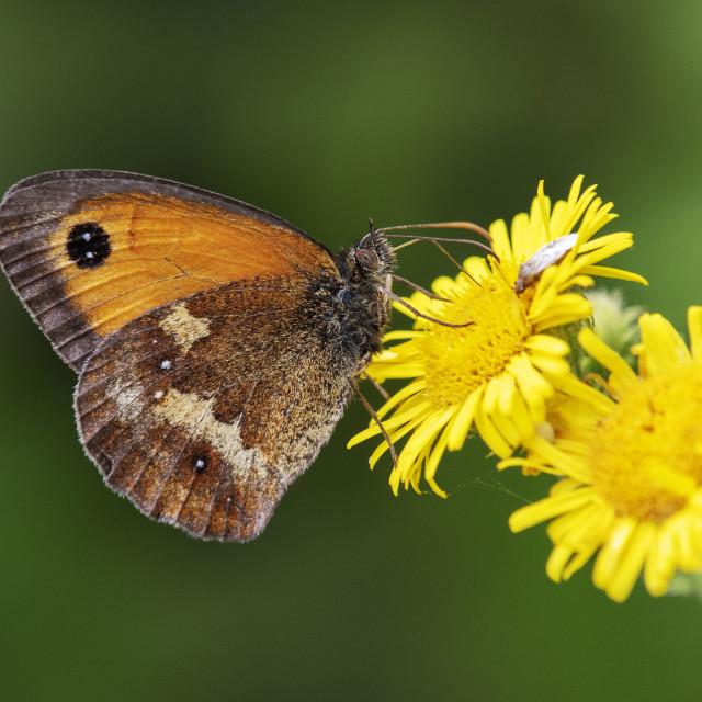 """""""Gatekeeper Butterfly (II)"""" stock image"""