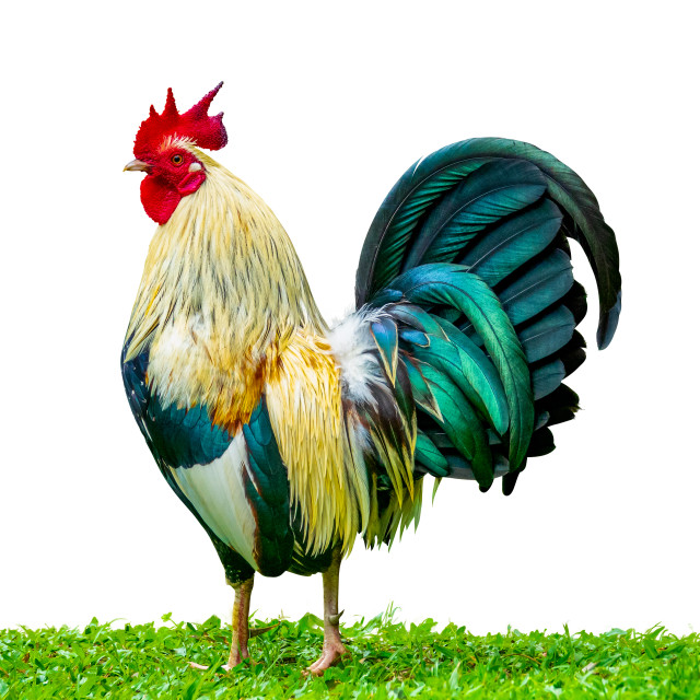 """Isolated Rooster In The Grass"" stock image"