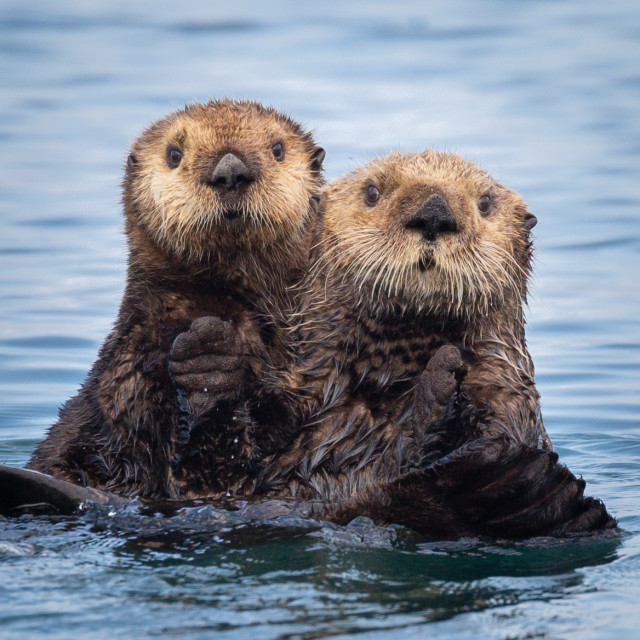 """""""Pair of Northern Sea Otters"""" stock image"""