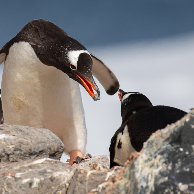 """""""Gentoo Penguin With Rock Gift"""" stock image"""