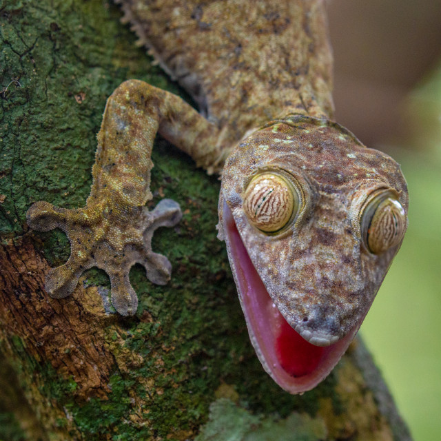 """""""Leaf Tailed Gecko"""" stock image"""