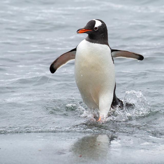 """Gentoo Penguin Bond Girl"" stock image"