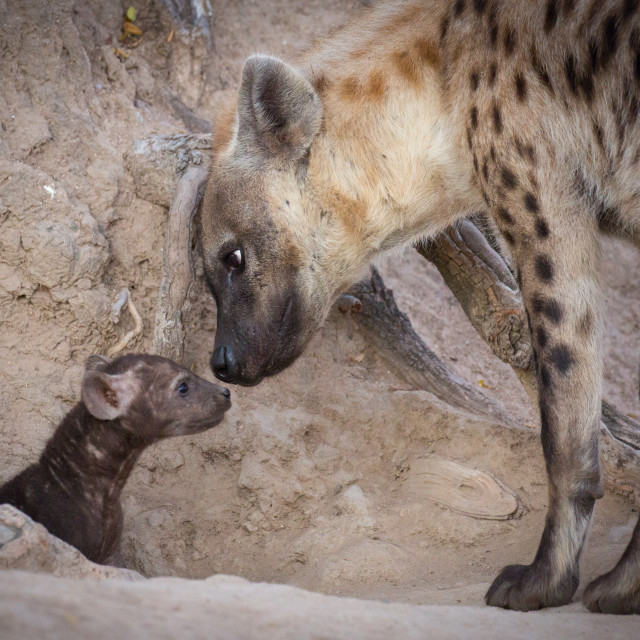 """""""Spotted Hyena and Cub"""" stock image"""