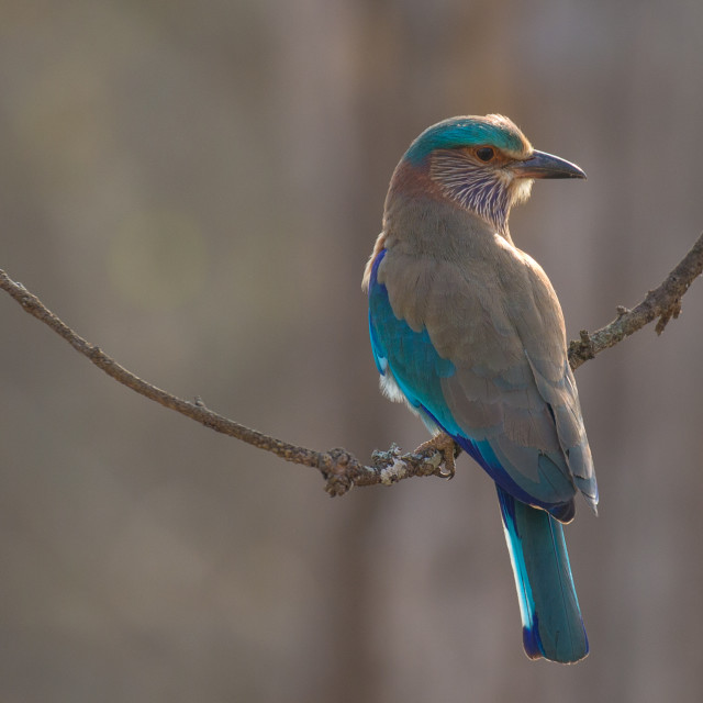 """""""Indian Roller"""" stock image"""