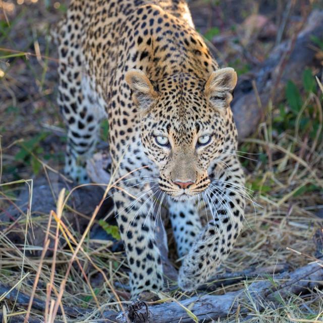 """Leopard Locks Eyes"" stock image"