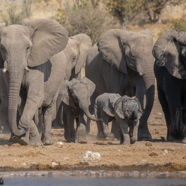 """""""Elephant Herd Approaches..."""" stock image"""