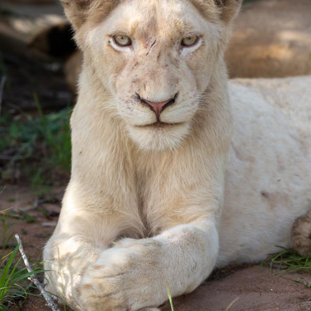 """White Lion of Timbavati"" stock image"