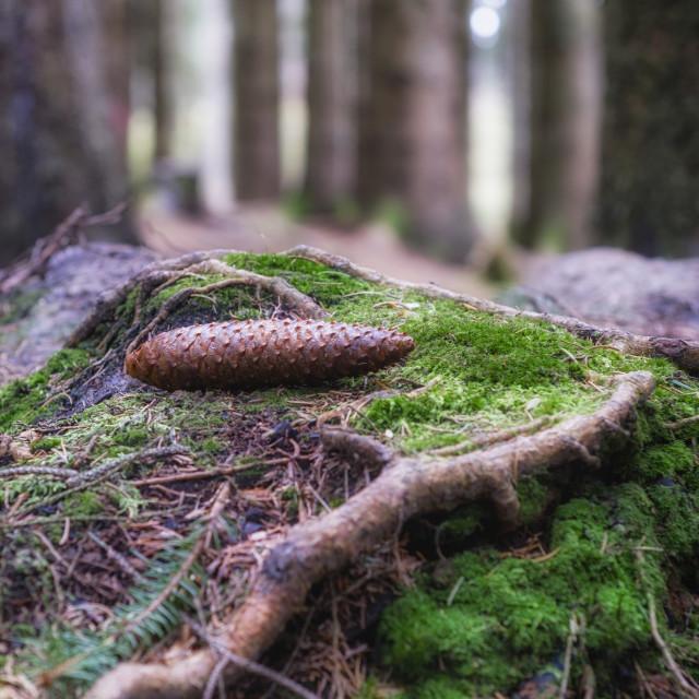 """""""Devilla Forest in Scotland"""" stock image"""