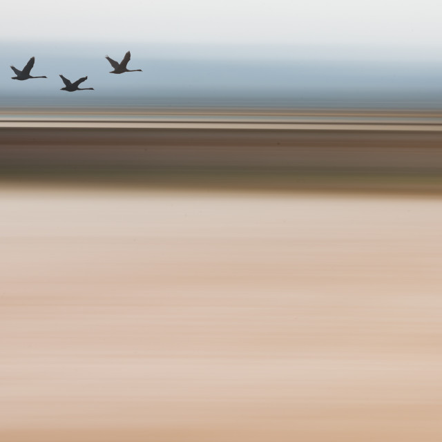 """Sihouette Swans Flying - blurred ICM Background, Composite Image"" stock image"