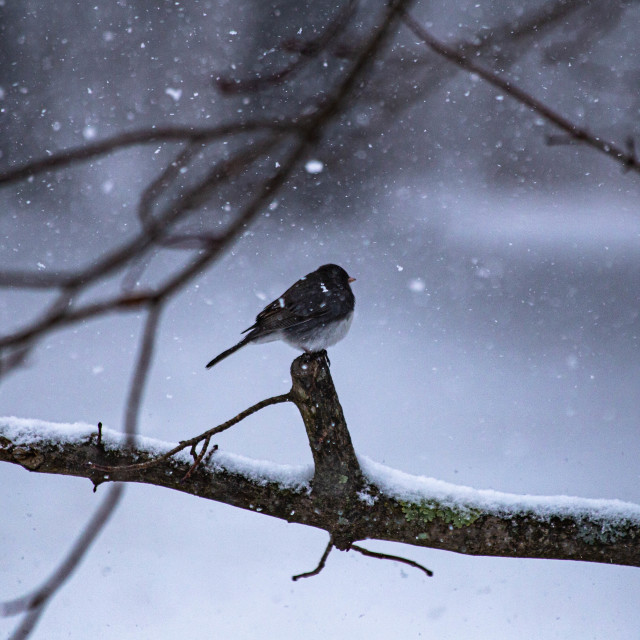 """""""Junco Bird Perched During Snowfall"""" stock image"""