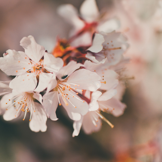 """""""A single cherry blossom branch"""" stock image"""