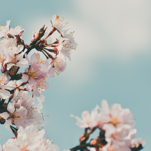 """""""Cherry blossom, sky and clouds"""" stock image"""