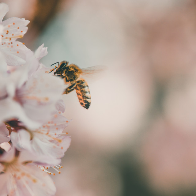 """Cherry blossom and a bee"" stock image"