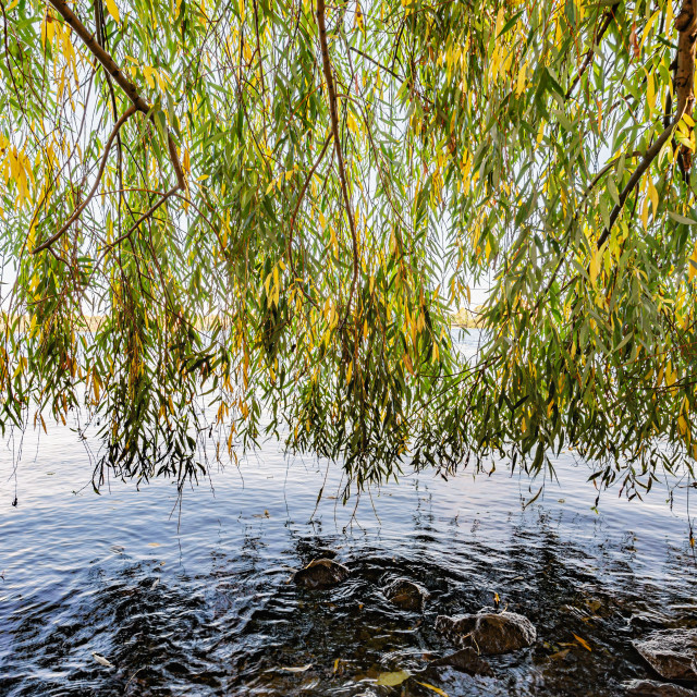 """Weeping Willow Curtain over the Dnieper river water"" stock image"