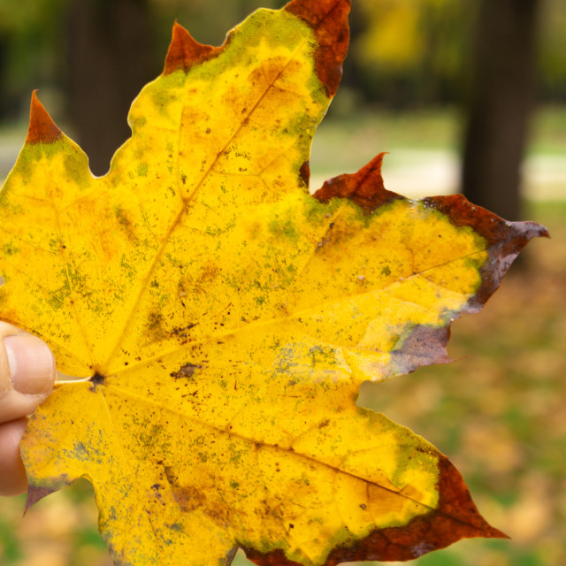 """""""Yellow leaf on an autumn day"""" stock image"""