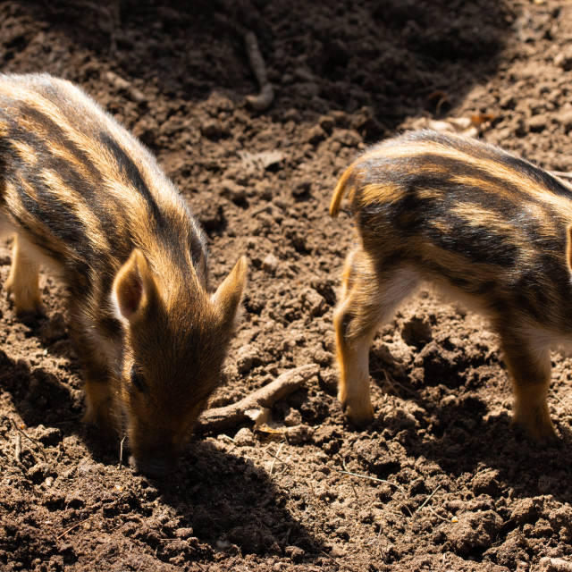 """""""Little wild hogs in the forest"""" stock image"""