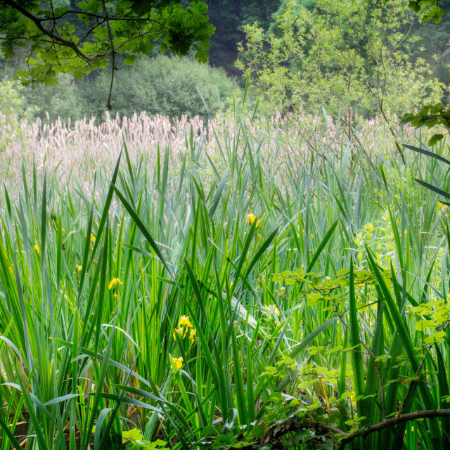 """Secret Lake. Bullrush and reeds. A corner of England that is forever my own."" stock image"
