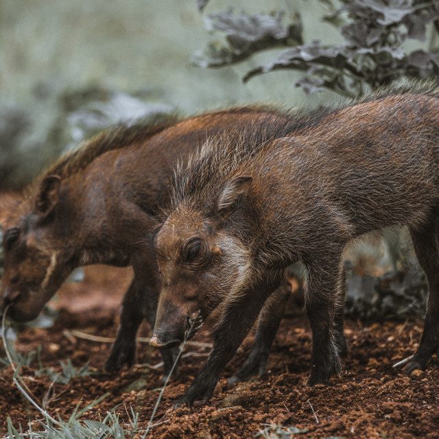 """""""piglets eating"""" stock image"""