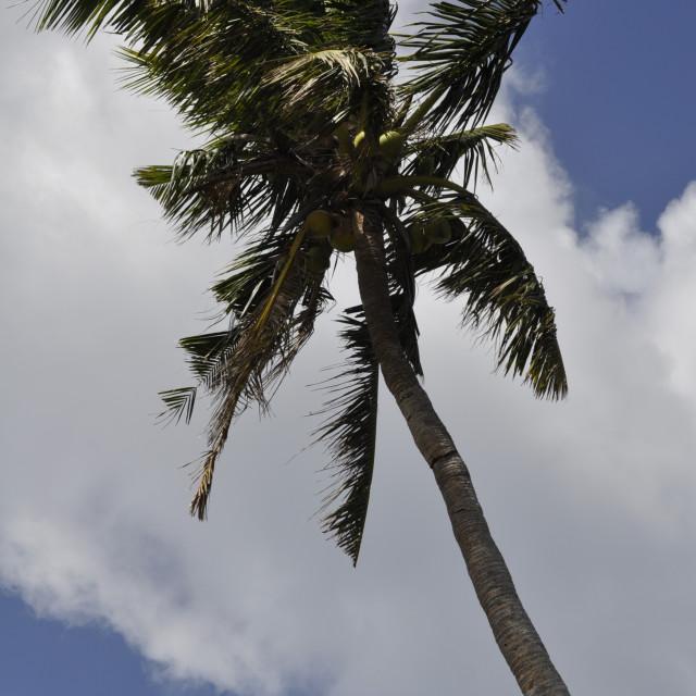 """Coconut tree on Guam"" stock image"