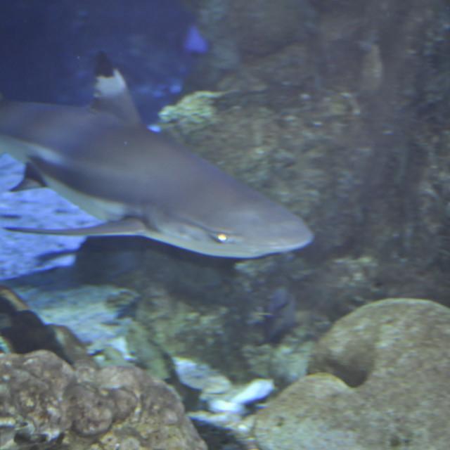 """Shark on Guam"" stock image"