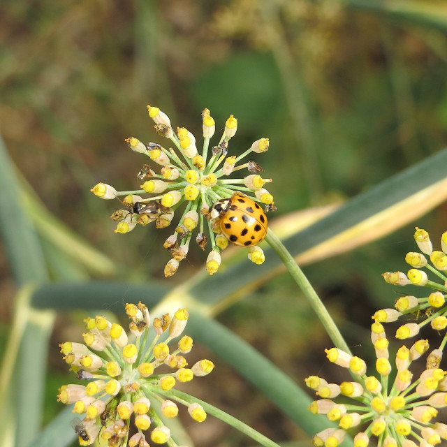 """Ladybird on an aniseed flower"" stock image"