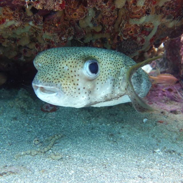 """Porcupine Fish"" stock image"