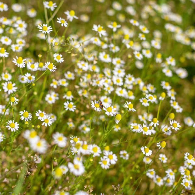 """Chamomile field"" stock image"