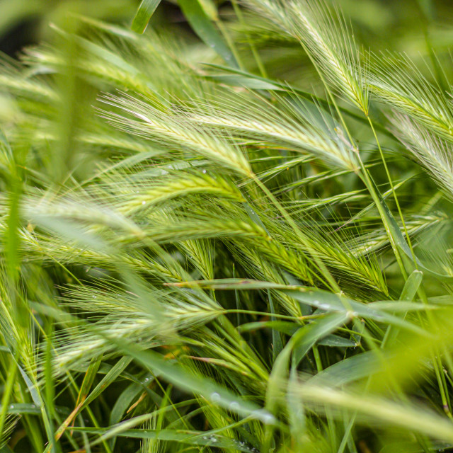 """Grass in the wind"" stock image"