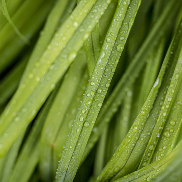 """Grass with dew droplets"" stock image"