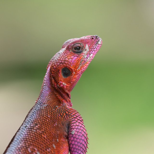 """The rainbow or common agama"" stock image"