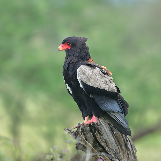 """The Bateleur"" stock image"