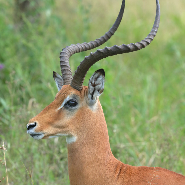 """An impala up close"" stock image"