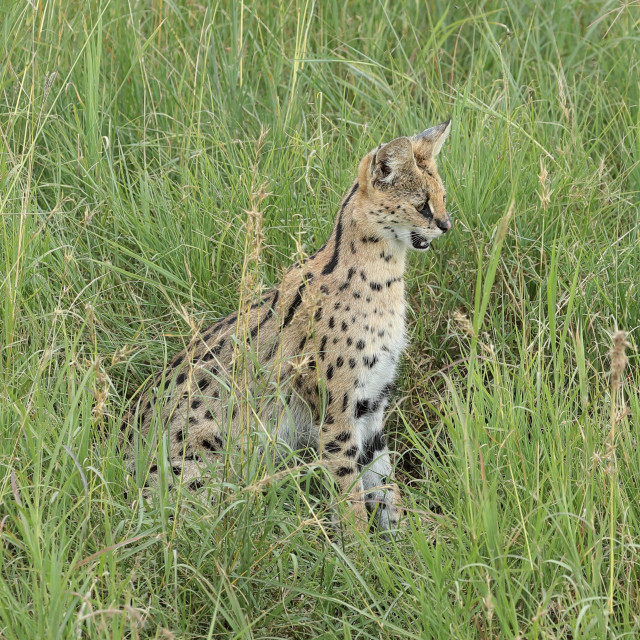 """A Serval up close"" stock image"