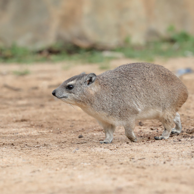 """The rock hyrax"" stock image"