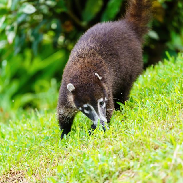 """Ring-Tailed Coati (Nasua nasua rufa) searching grass for something to eat,..."" stock image"