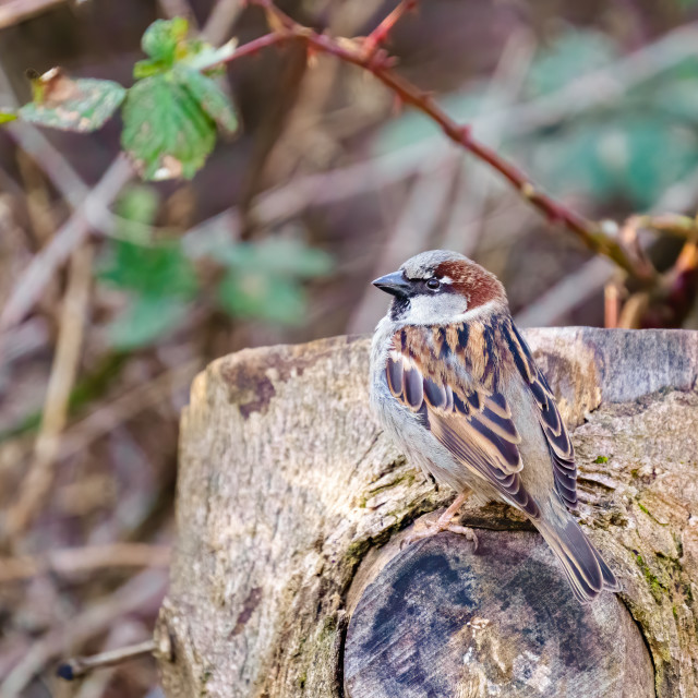 """House sparrow (Passer domesticus) male perched on side of a tree, taken in..."" stock image"