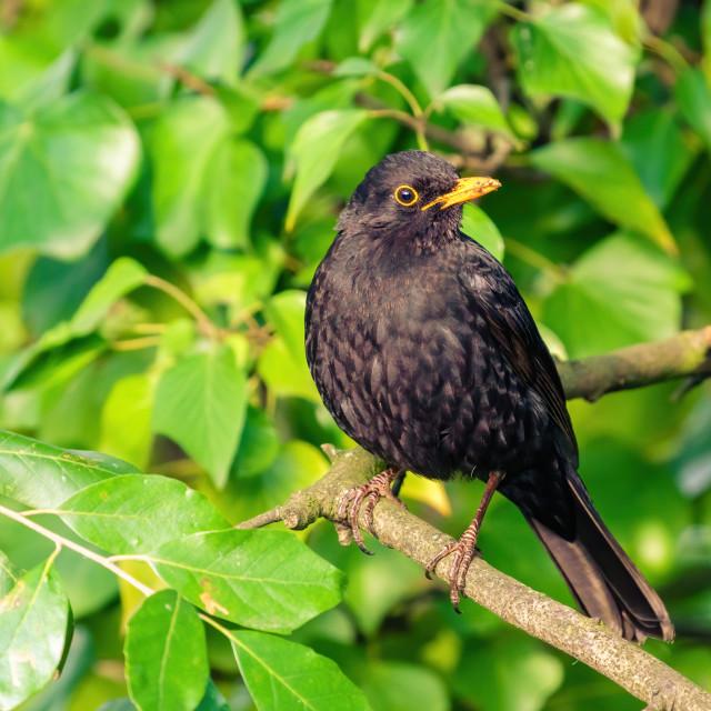 """Blackbird (Turdus merula) sitting in ivy hedge, taken in London, England"" stock image"