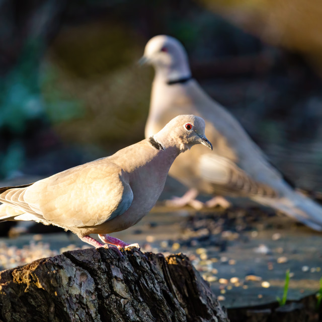 """Collared dove (Streptopelia decaocto) sitting on tree stump in early morning..."" stock image"