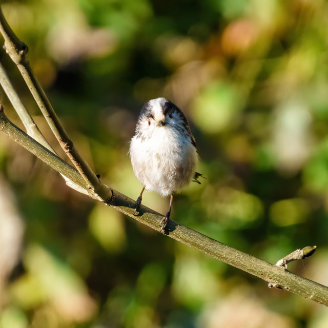 """Long-tailed tit (Aegithalos caudatus) perched on branch looking curiously at..."" stock image"